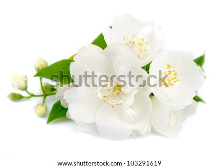 White flowers of jasmine on the whit - stock photo