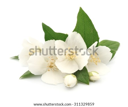White flowers of jasmine on the white