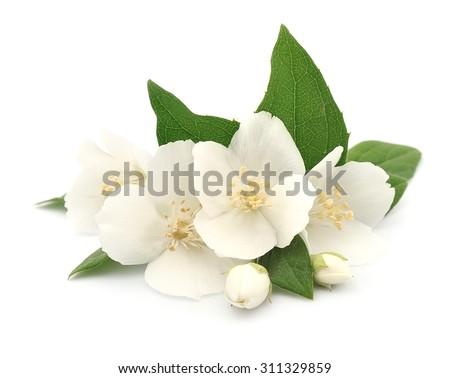 White flowers of jasmine on the white - stock photo