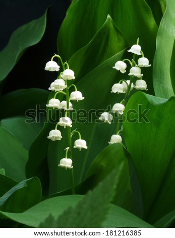 white  flowers of the lily of the valley on a background of green leaves  - stock photo