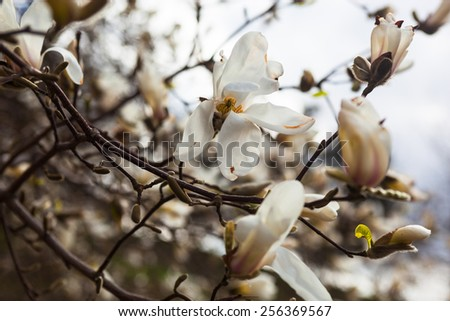 White flowers magnolia tree early spring stock photo royalty free white flowers of the magnolia tree in early spring mightylinksfo