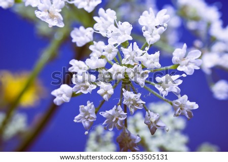 White flowers on a blue background. Macro. Siberia.