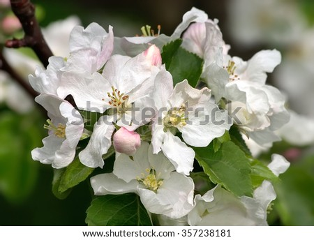 White flowers on apple tree in spring - stock photo