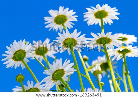 white flowers on blue sky - stock photo