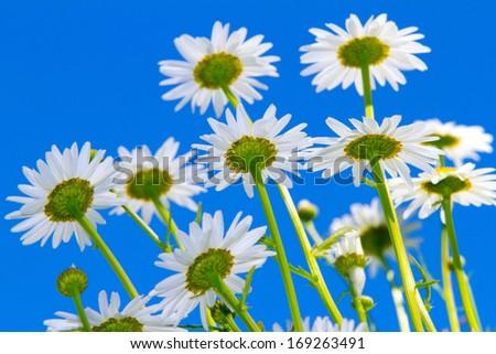 white flowers on blue sky - stock photo