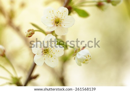 white flowers on cherry blossom