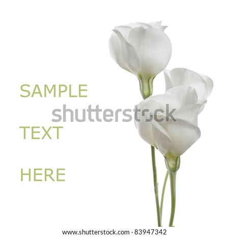 White flowers on white isolated background with copy space(Lisianthus flowers). - stock photo