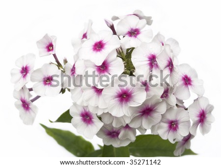 white flowers phlox on a white background - stock photo