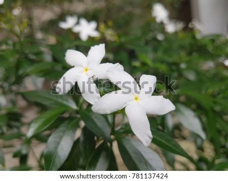 White flowers green leaf five petals stock photo edit now white flowers with green leaf five petals flowers mightylinksfo
