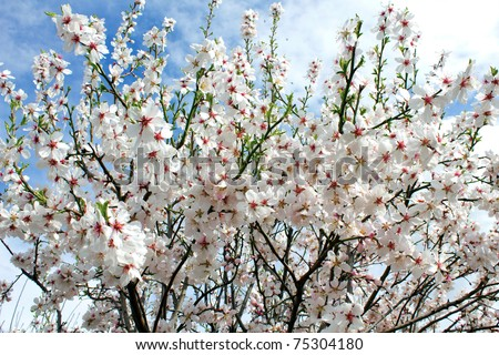 White Fluffy Apricots Flower - stock photo