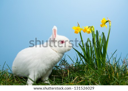 White fluffy bunny sitting beside daffodils on blue background - stock photo
