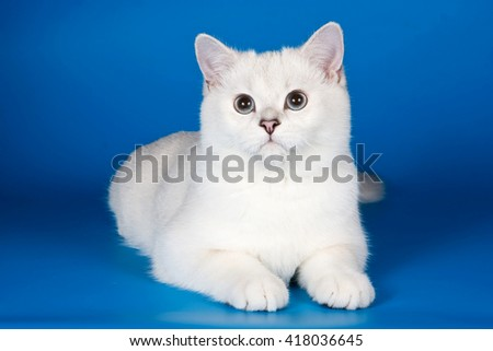 White fluffy cat on a blue background - stock photo