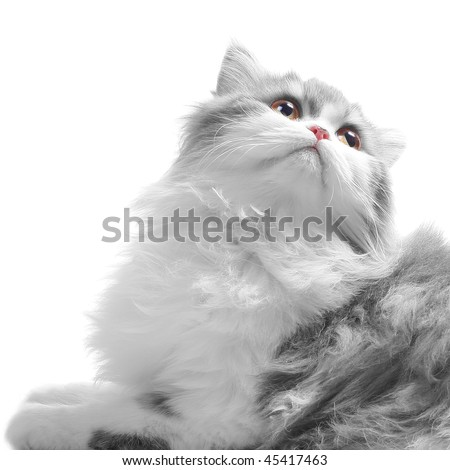 White fluffy classic persian cat looking back isolated on white - stock photo