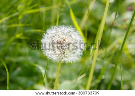 White fluffy dandelion in the field. Gardening. Flora. Rural nature. The flower bed in the Park. The flower bed. Wildlife. Chamomile. Meadow in the woods. Flowers summer. - stock photo
