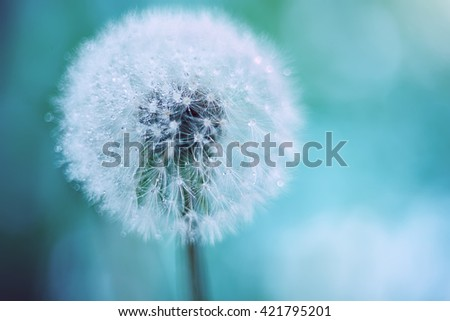 white fluffy dandelion on a background of gentle turquoise, pale emerald. fluffy soft fluff with dew drops on the tips.