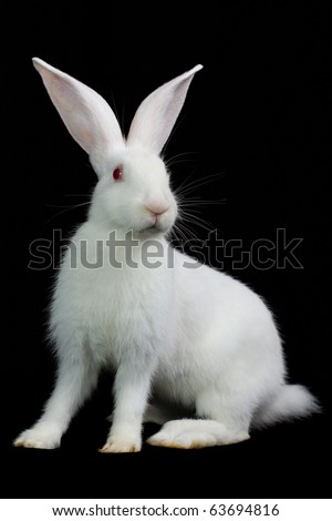 White fluffy rabbit on a black background - stock photo