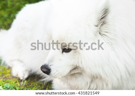 White fluffy Samoyed dog lays on a green grass, closeup photo