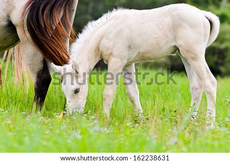 White foal graze near the mother in the lawn of Thailand - stock photo