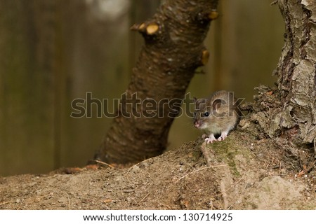 White footed mice (Peromyscus leucopus) in a backyard. - stock photo