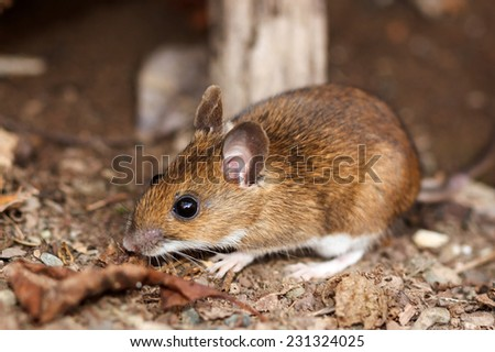 White footed mouse (woodmouse, Peromyscus leucopus) in the nature, springtime - stock photo