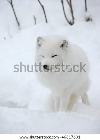 White Fox - stock photo