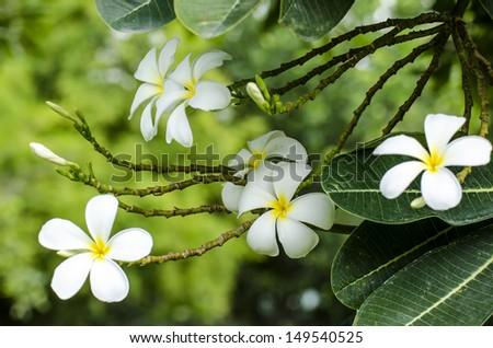 White Frangipani. - stock photo