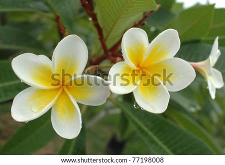 White frangipani - stock photo