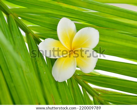White frangipani and wet palm leaf  - stock photo