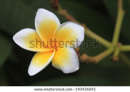 White Frangipani flower after rain - stock photo