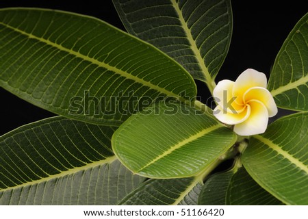 White frangipani flower in a background of green leaves.