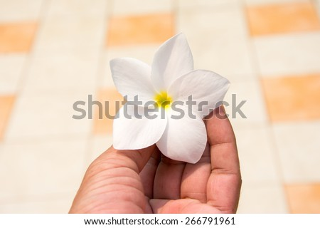 White frangipani flower in hand - stock photo