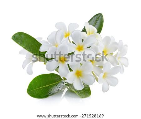 White frangipani flower isolated white background - stock photo