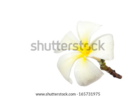 white frangipani flowers  in white background - stock photo