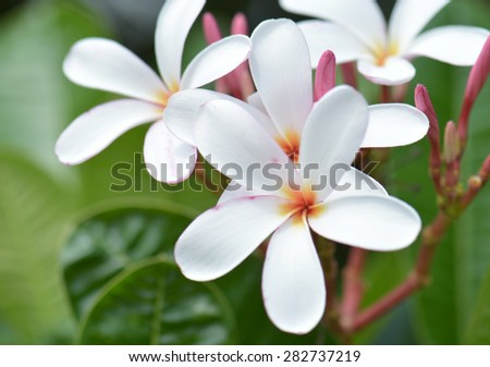 White frangipani flowers is blooming in the early morning. - stock photo