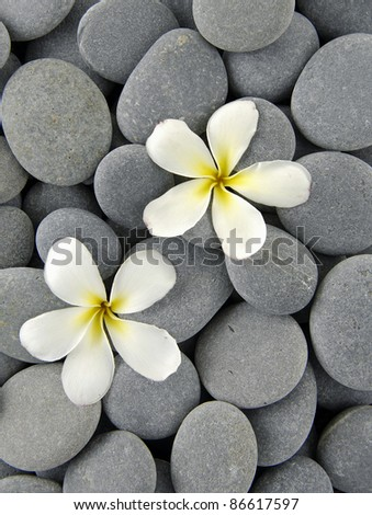 White frangipani flowers on pebbles - stock photo