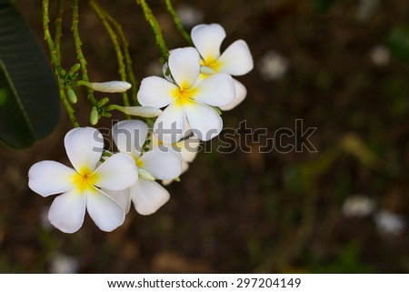 White frangipani petals bloom beautifully on many branches with background blur. - stock photo