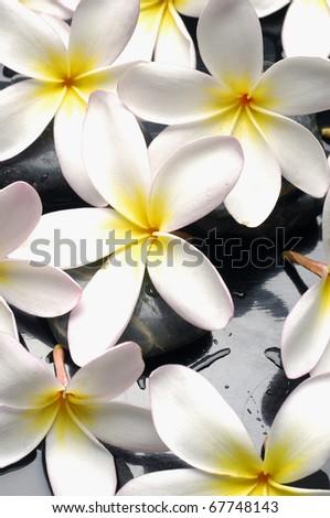 White Frangipani (Plumeria) flowers - stock photo