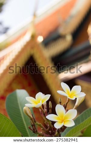 White frangipani (plumeria) flowers in front of Buddhist Temple - stock photo