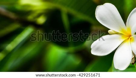 White frangipani tropical flower on tree, spa flower frangipani tropical flowers.Plumeria flowers Vintage Filter Effect. - stock photo
