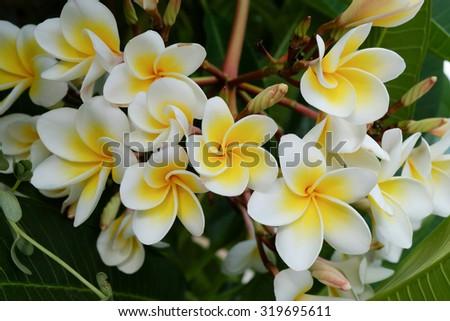 white frangipani tropical flower, plumeria flower fresh blooming on tree, spa flower - stock photo