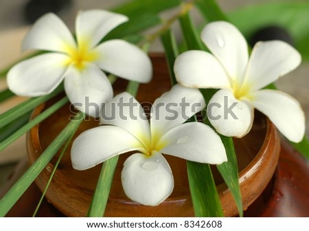 White Frangipanis - stock photo