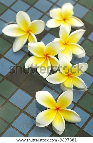 White frangipanis in the pool (shallow depth of field)
