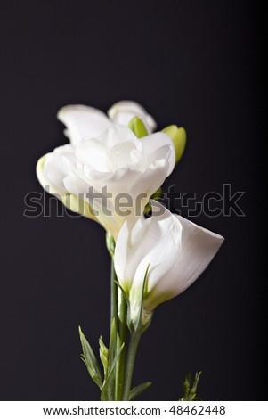 White freesia on black backgroung - stock photo
