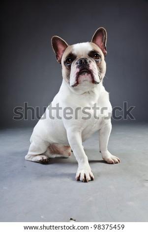 White french bulldog isolated on grey background. Studio portrait. - stock photo
