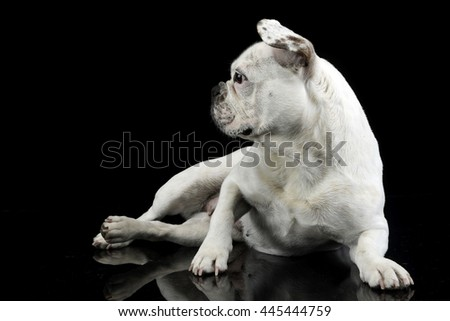 white french bulldog with funny ears posing in a dark photo studio