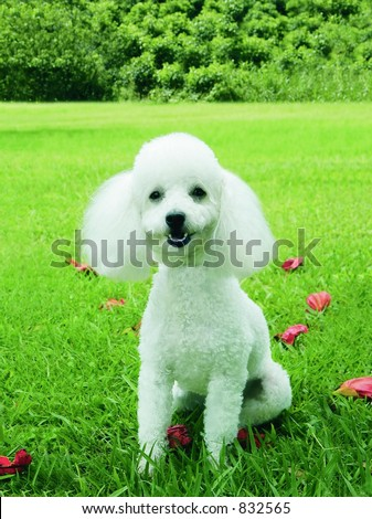 White French Poodle - stock photo