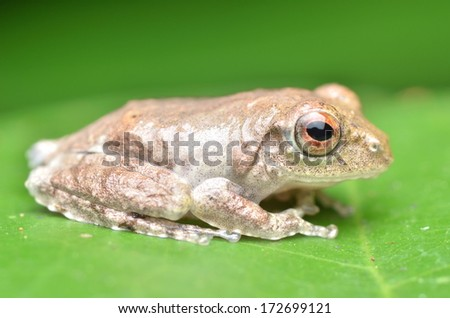 white frog on green leaf - stock photo