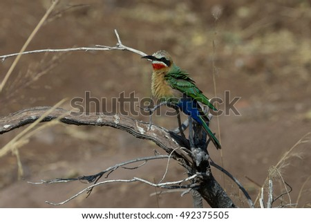 White-fronted bee eater on Chobe River Botswana Africa