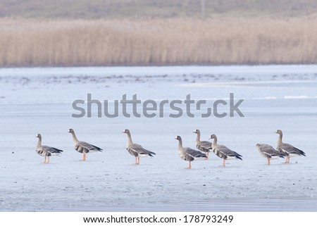 White fronted Geese (Anser albifrons) Flock in winter