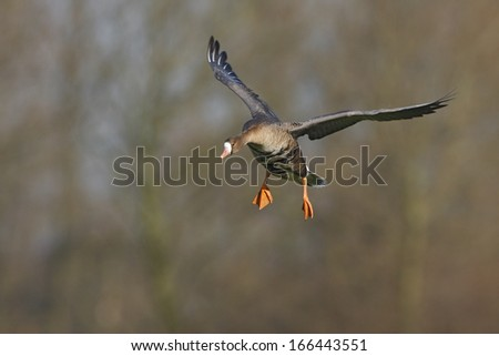 White fronted Goose, Lower Rhine, Germany